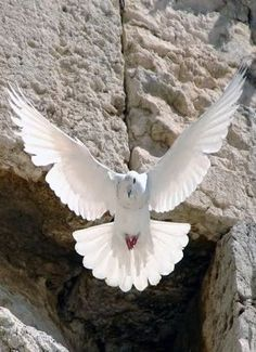 Dove-In-Jerusalem-Israel-wallpaper-wp5805176