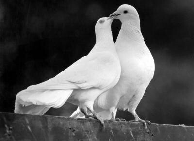 Doves-wallpaper-wp5805178