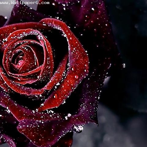 Download-Dark-rose-sign-of-beauty-Rose-day-for-your-mobile-cell-phone-wallpaper-wp4406480