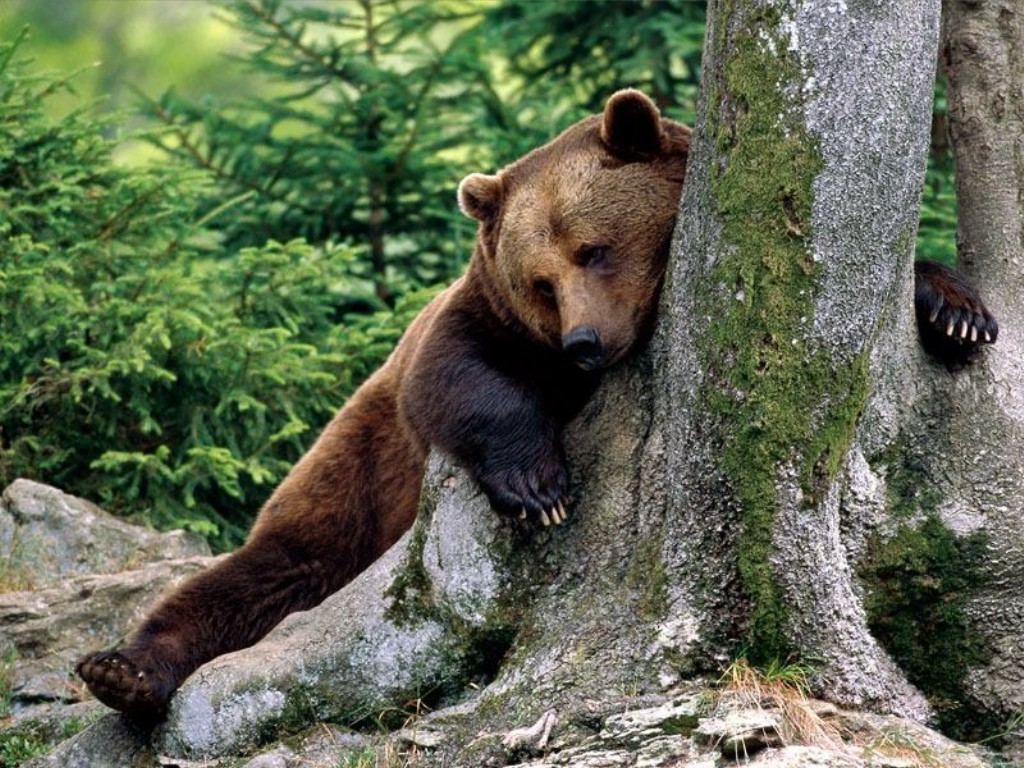Drunk-Lazy-Brown-Bear-Animals-Desktops-and-Stock-Photos-wallpaper-wp5404682