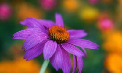 Echinacea-Purpurea-Head-Nature-Full-Free-4k-HD-Mobile-Desktop-Phon-wallpaper-wp34040