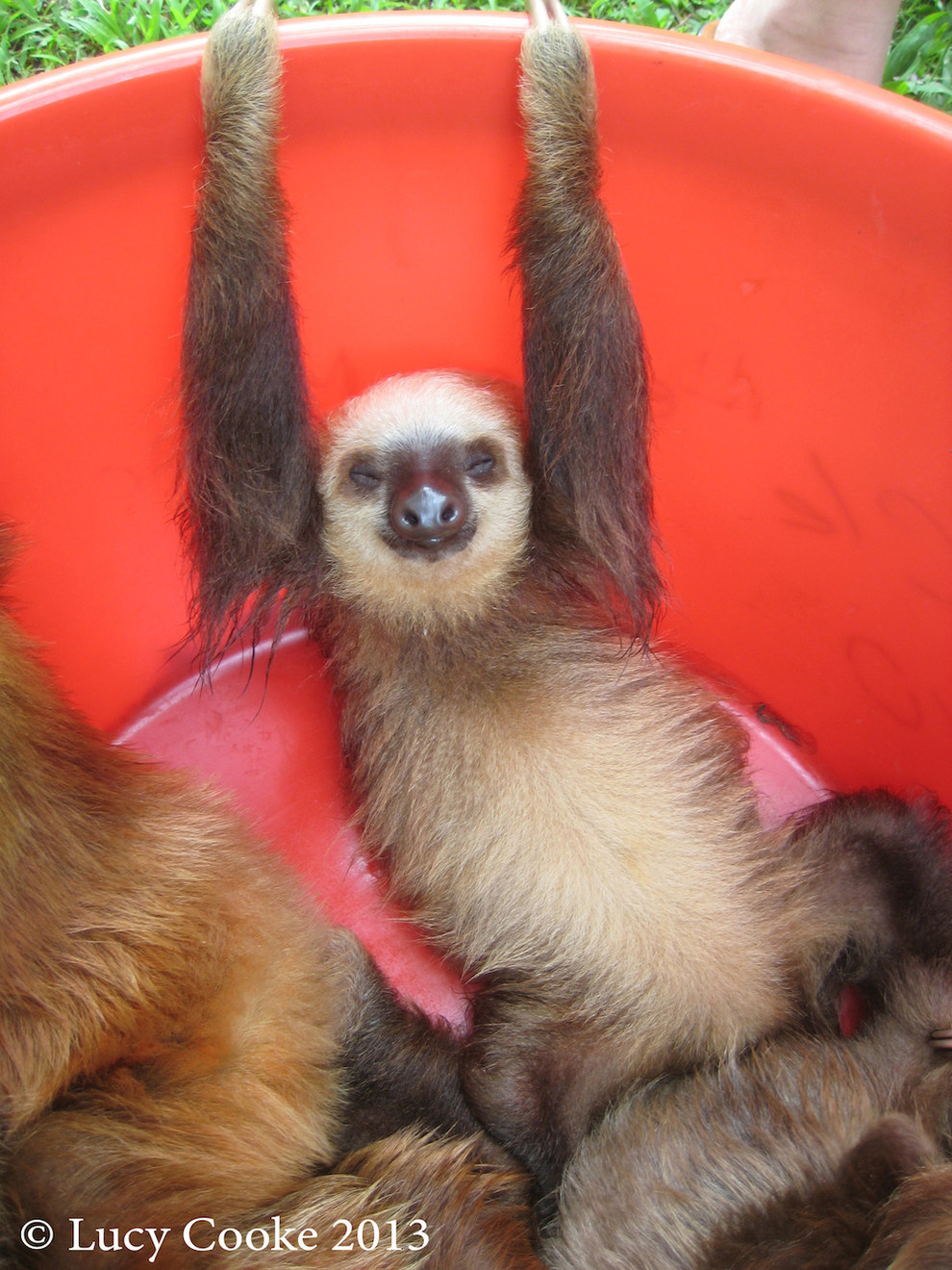 Especially-sloths-in-buckets-The-Cutest-Sloths-That-Ever-Slothed-wallpaper-wp425258