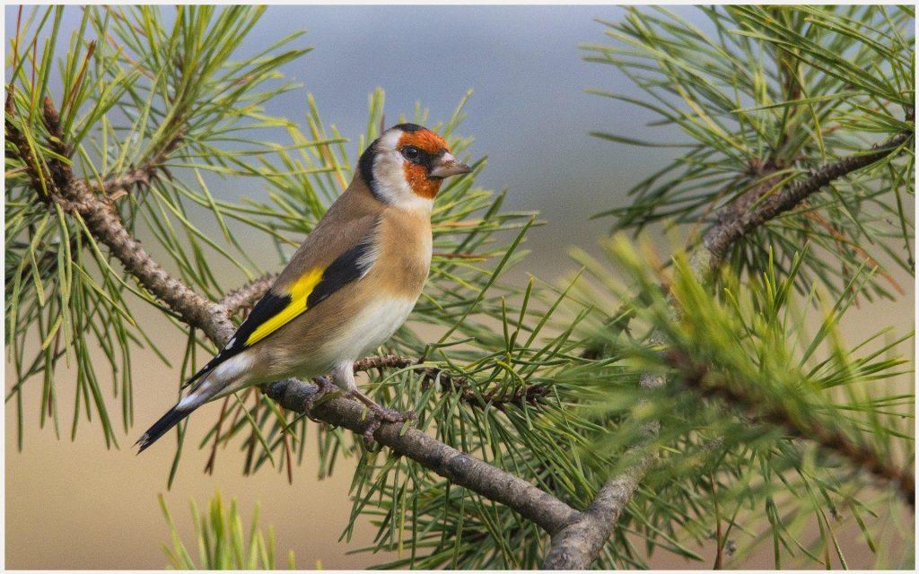 European-Goldfinch-Bird-european-goldfinch-bird-1080p-european-goldfinch-bird-wallpaper-wp3605402