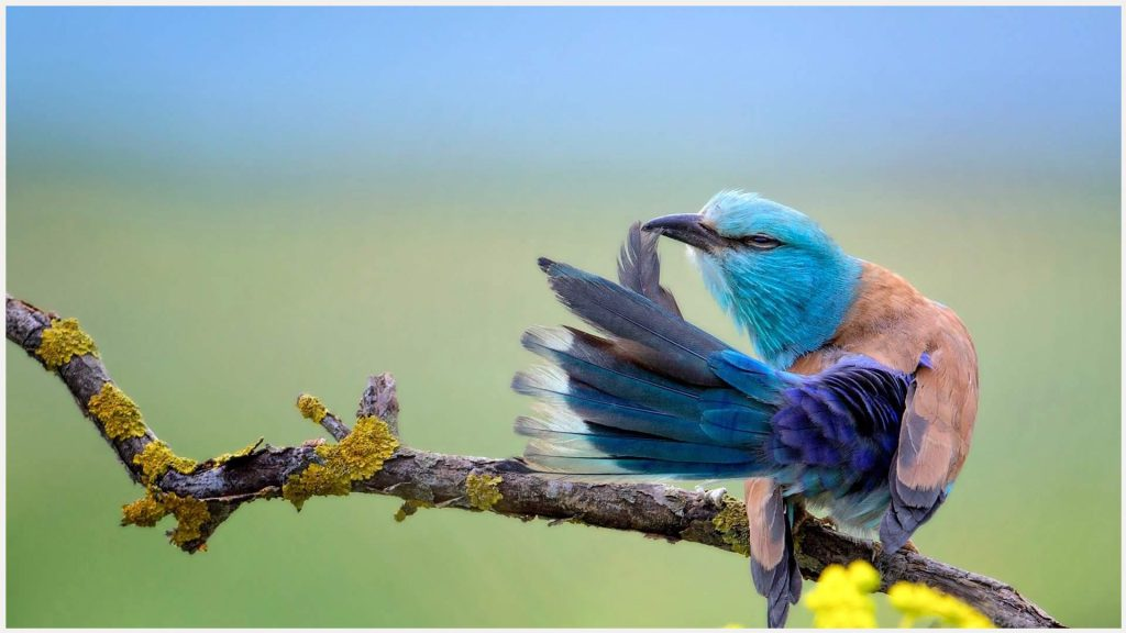 European-Roller-Bird-european-roller-bird-1080p-european-roller-bird-wallpape-wallpaper-wp3605403