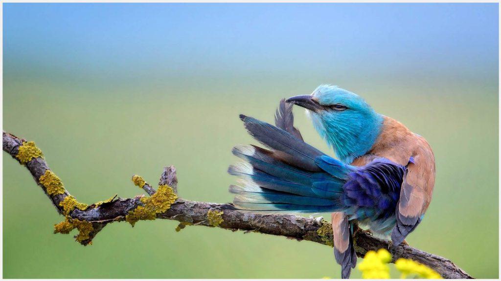 European-Roller-Bird-european-roller-bird-1080p-european-roller-bird-wallpape-wallpaper-wp3605403