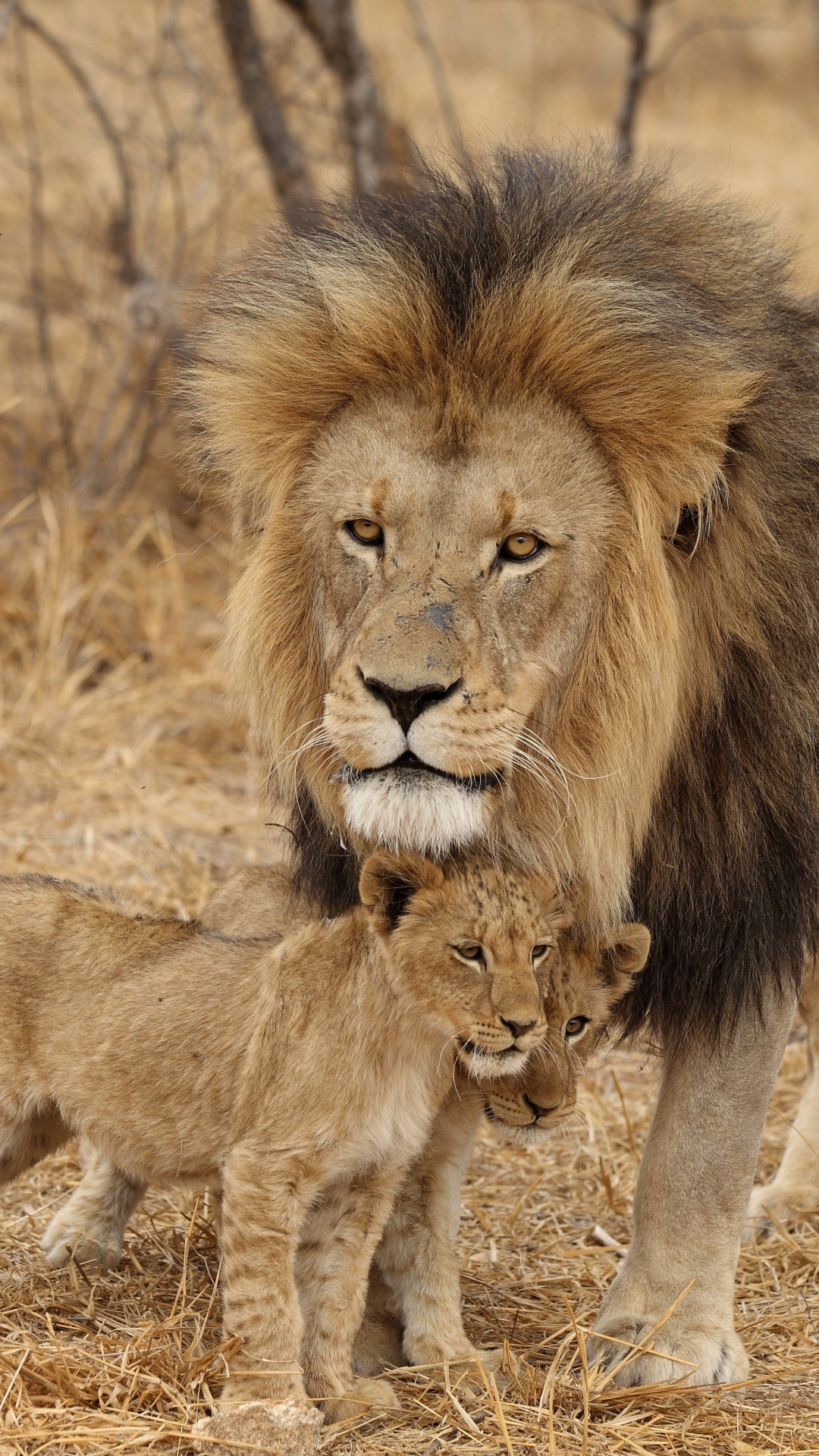 Even-the-King-Of-The-Jungle-has-to-watch-the-kids-lion-male-lion-cubs-family-africa-predators-wallpaper-wp3405275