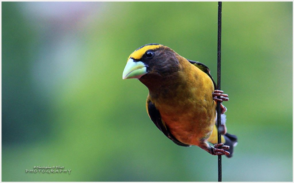 Evening-Grosbeak-Bird-evening-grosbeak-bird-1080p-evening-grosbeak-bird-wallp-wallpaper-wp3605408