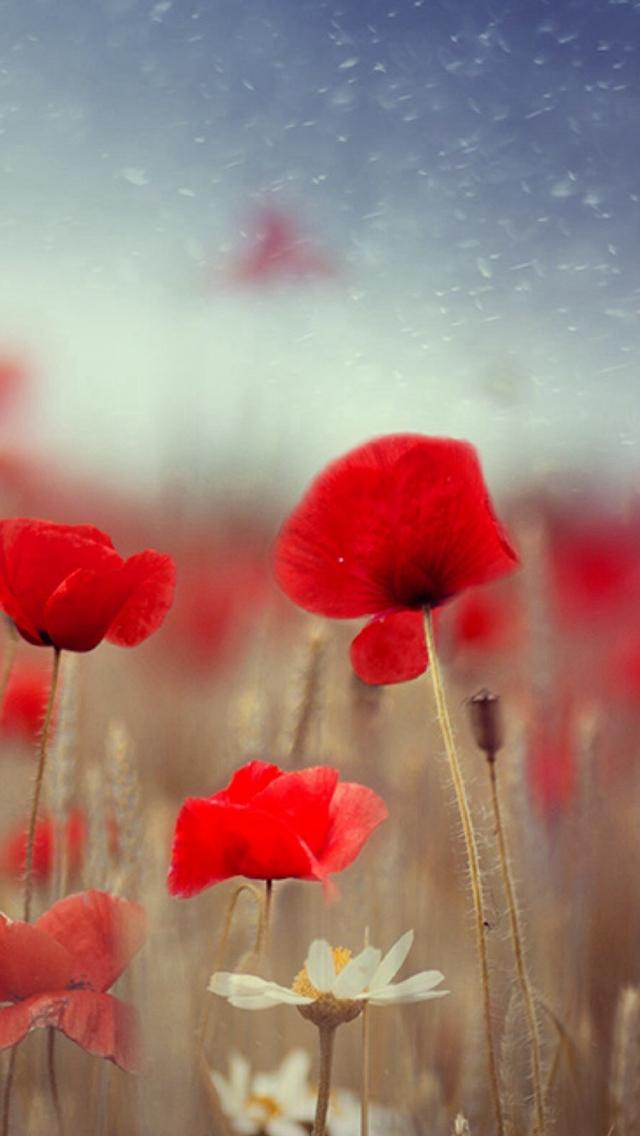 Fantasy-Poppy-Flower-Field-Plant-Blur-iPhone-s-wallpaper-wp425362
