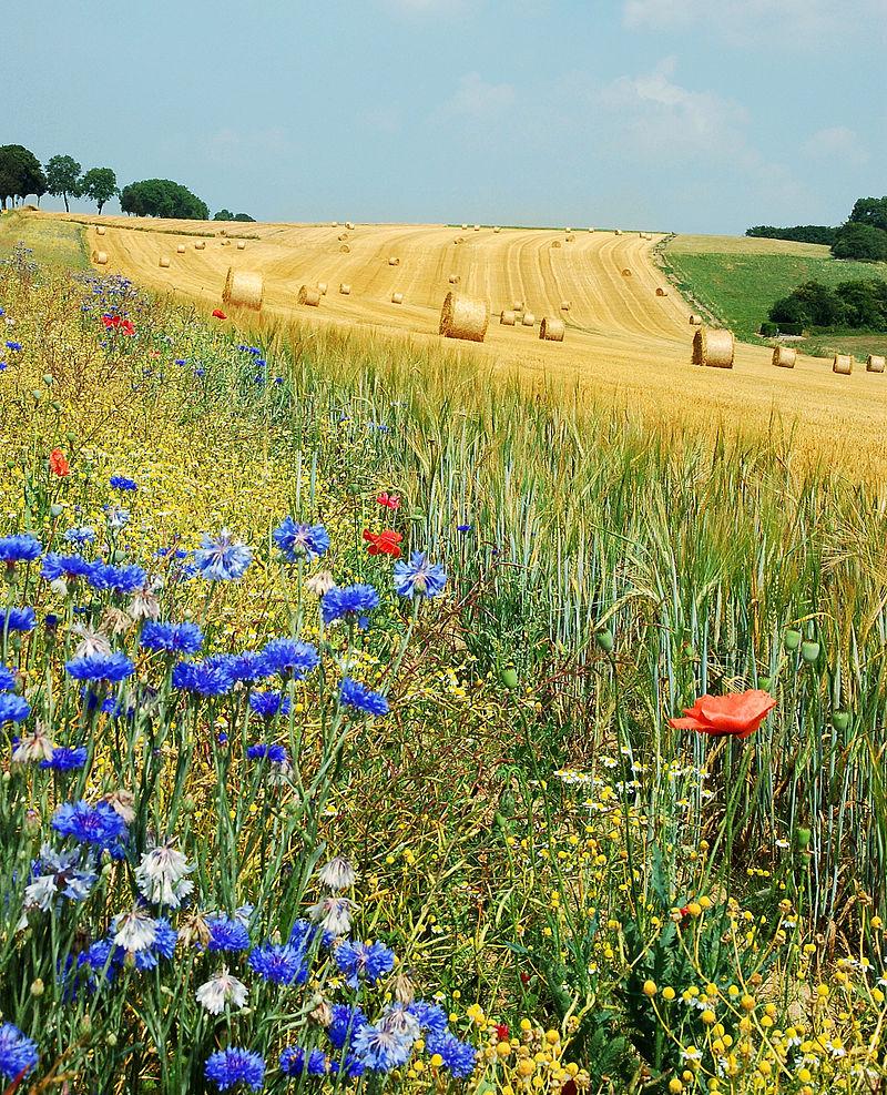 Field-Hamois-Belgium-Luc-Viatour-Summer-Wikipedia-the-free-encyclopedia-wallpaper-wp5604772