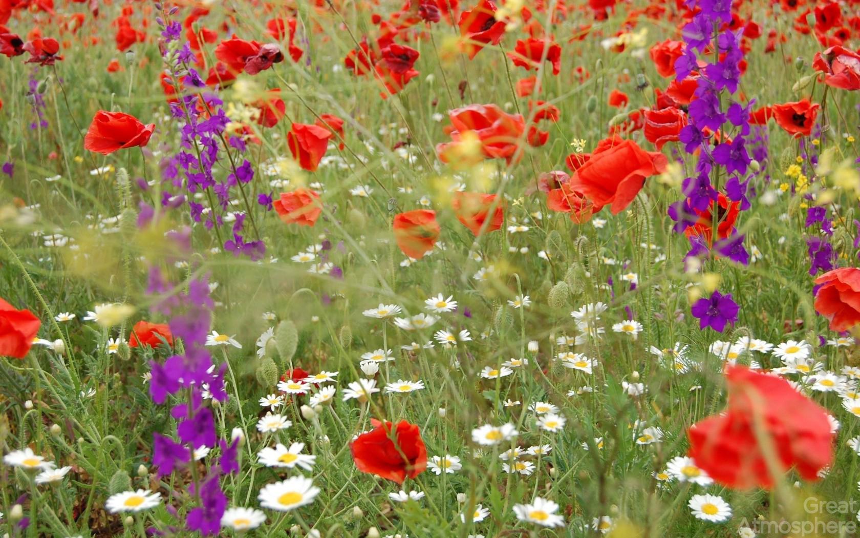 Fields-of-flowers-wallpaper-wp5604773