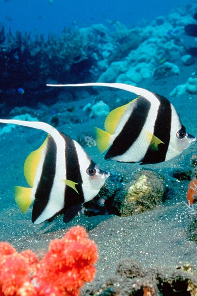 Fish-Water-Two-Clown-Fish-wallpaper-wp5203226