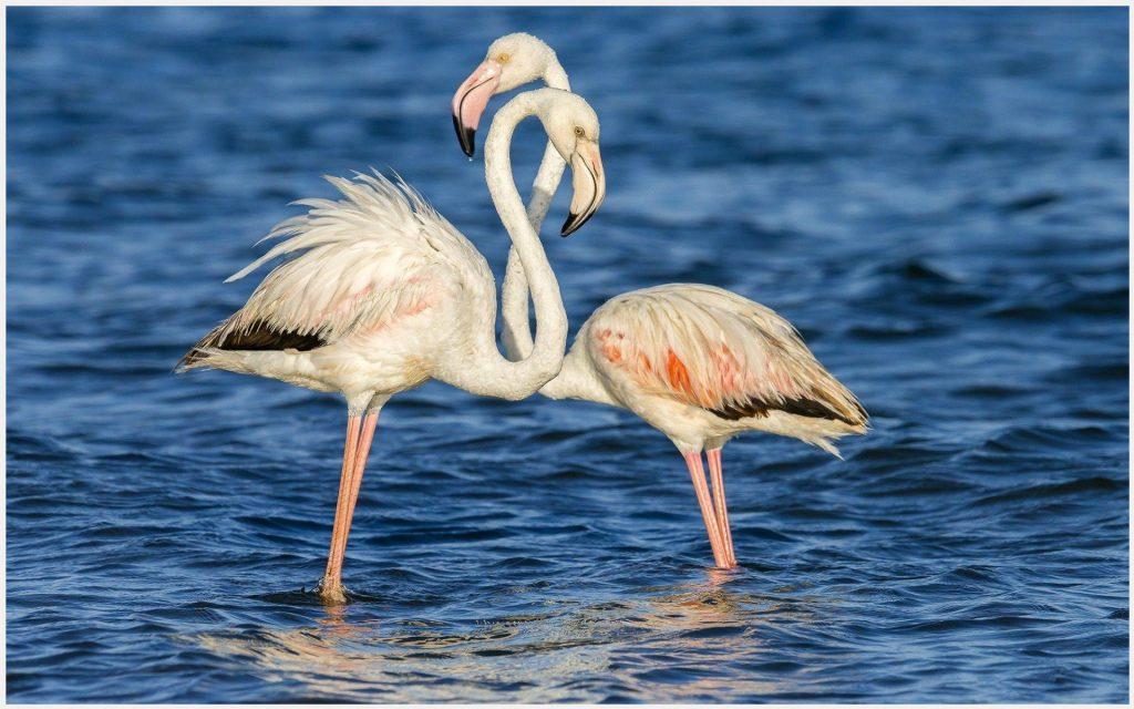 Flamingo-Couple-Love-Birds-flamingo-couple-love-birds-1080p-flamingo-couple-l-wallpaper-wp3605609