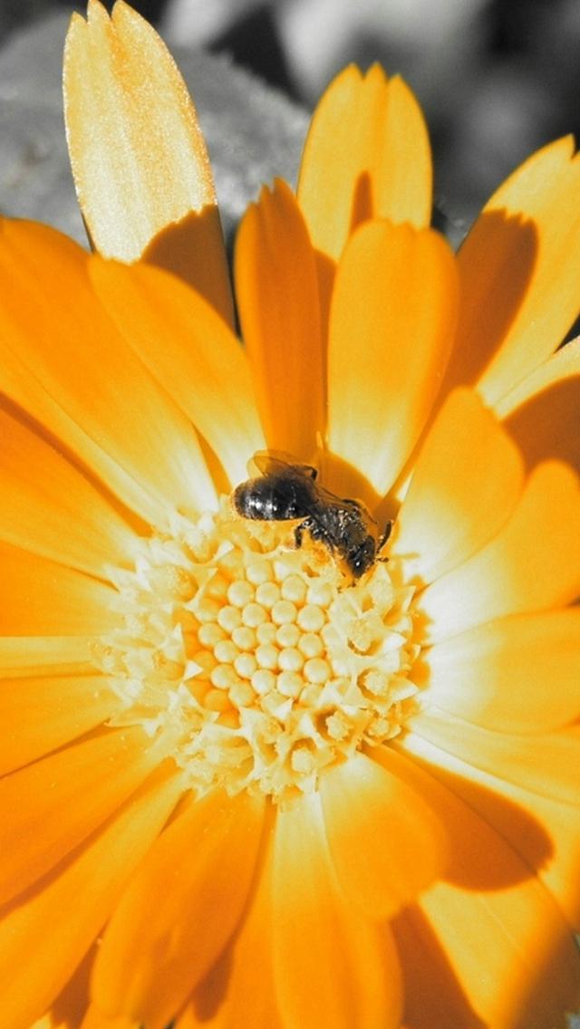 Flower-Bee-Orange-Pollination-iPhone-s-wallpaper-wp425470
