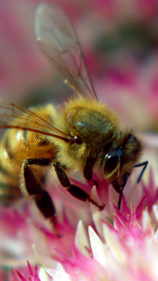 Flower-Bee-Pollination-Insect-iPhone-s-wallpaper-wp425471