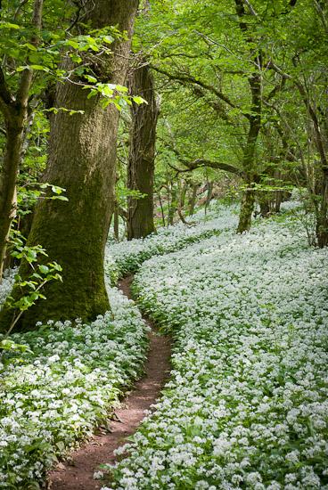Footpath-through-the-Wild-Garlic-Milton-Wood-Somerset-UK-wallpaper-wp5604919