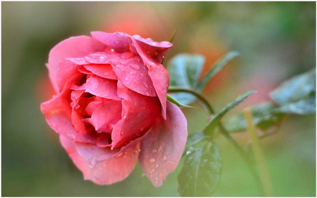 Fresh-Pink-Rose-fresh-pink-rose-1080p-fresh-pink-rose-desktop-fres-wallpaper-wp3405990