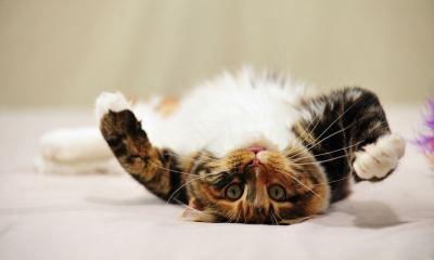 Funny-Lie-Paw-Cat-Animal-Full-Free-4k-HD-Mobile-Desktop-Phone-I-wallpaper-wp36041