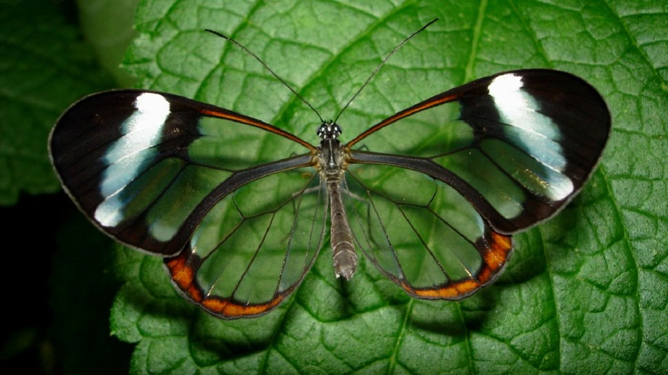 Glasswing-Butterfly-insect-leaf-nature-wallpaper-wp4004998