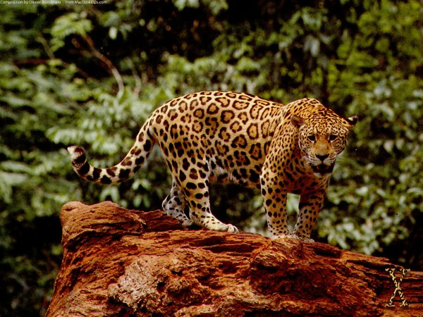 Great-Jaguar-wallpaper-wp6003765