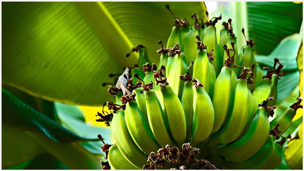 Green-Banana-Bunch-HD-green-banana-bunch-hd-1080p-green-banana-bunch-hd-wallp-wallpaper-wp3606376