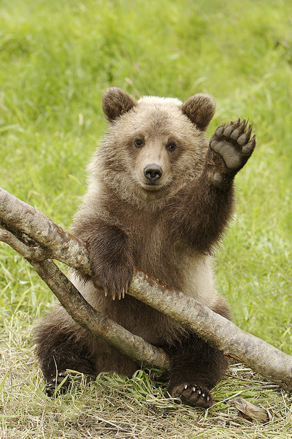 Grizzly-Cub-Waiving-Hello-by-AlaskaFreezeFrame-wallpaper-wp5004083