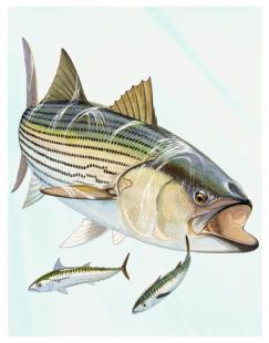 Guy-Harvey-Art-Gallery-striped-bass-wallpaper-wp5405480