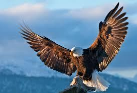 HD-eagle-pictures-ile-ilgili-görsel-sonucu-wallpaper-wp5601504