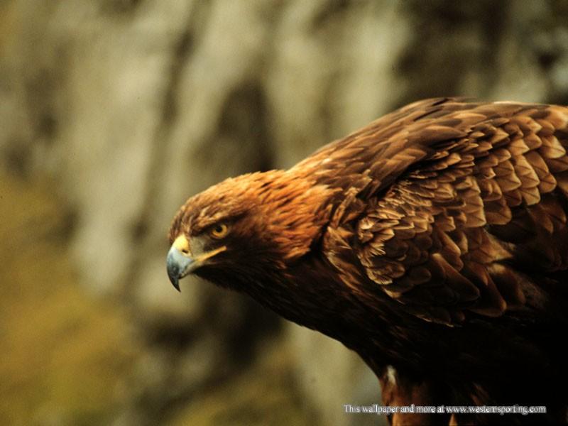 HD-eagle-pictures-ile-ilgili-görsel-sonucu-wallpaper-wp5601625