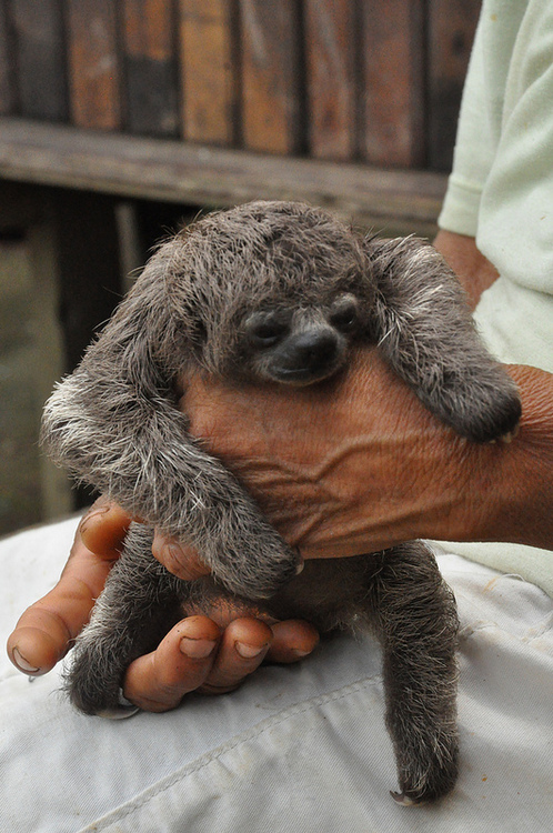 Hold-a-sloth-Preferably-with-my-sister-Our-obsession-with-sloths-has-been-since-we-were-very-you-wallpaper-wp426190