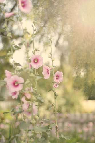 Hollyhocks-wallpaper-wp5008639