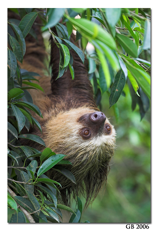 I-absolutely-will-not-apologize-for-my-love-of-sloths-they-are-such-silly-neat-and-adorable-creatu-wallpaper-wp426311