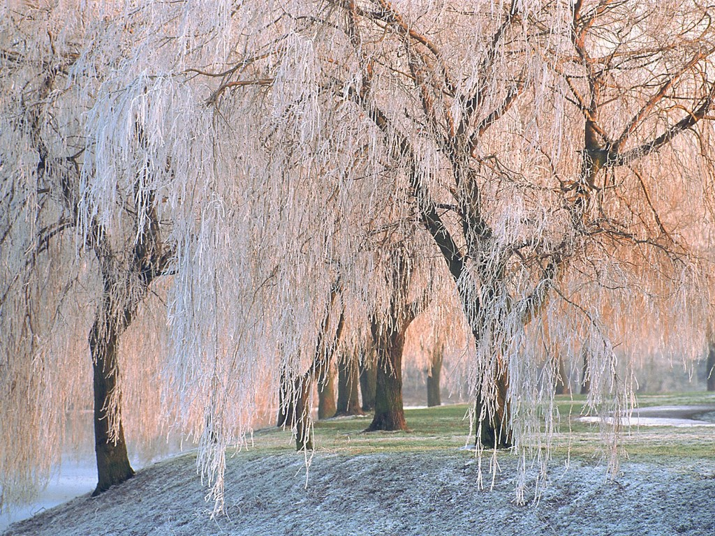 Ice-covered-Willow-Trees-wallpaper-wp5406076