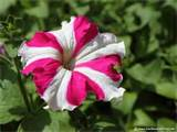 Image-detail-for-Click-the-above-thumbnail-to-view-Large-images-of-Petunia-flowers-wallpaper-wp4408317
