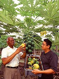 Inspecting-papayas-at-the-University-of-Hawaii-Photo-Scott-Bauer-wallpaper-wp4807683