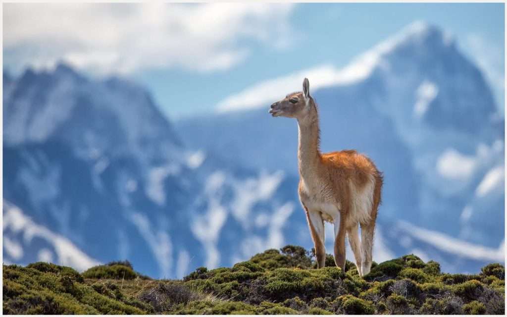 Lama-Animal-lama-animal-1080p-lama-animal-desktop-lama-animal-wall-wallpaper-wp3607794