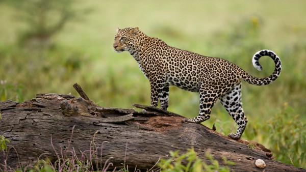 Leopard-Kenya-wallpaper-wp6004601