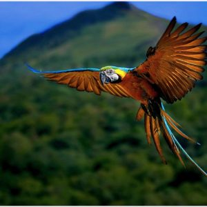 Macaw-Parrot-Flying-HD-macaw-parrot-flying-hd-1080p-macaw-parrot-flying-hd-wa-wallpaper-wp3408354