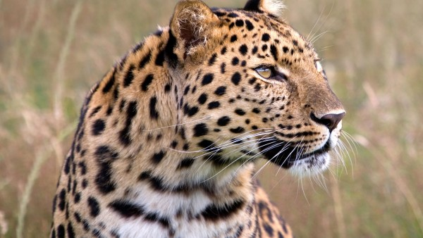 Male-Amur-Leopard-Wildlife-Heritage-UK-wallpaper-wp6004757