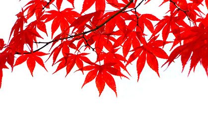 Maples-Isolated-wallpaper-wp5407006