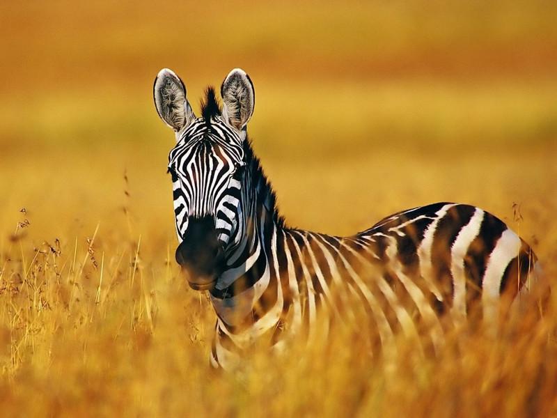 Photos-of-Amazing-Animals-of-the-Savanna-wallpaper-wp3001724