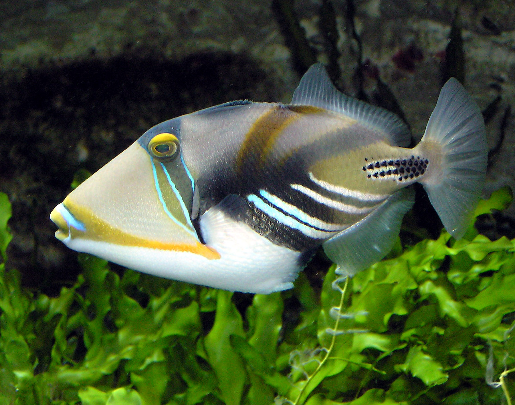 Picasso-Triggerfish-http-wallpho-tk-picasso-triggerfish-html-wallpaper-wp3009463