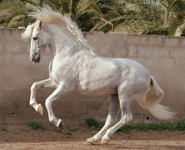 Pura-Raza-Española-stallion-Jaquimero-years-old-photo-Bob-Langrish-Wow-and-going-strong-wallpaper-wp4609408