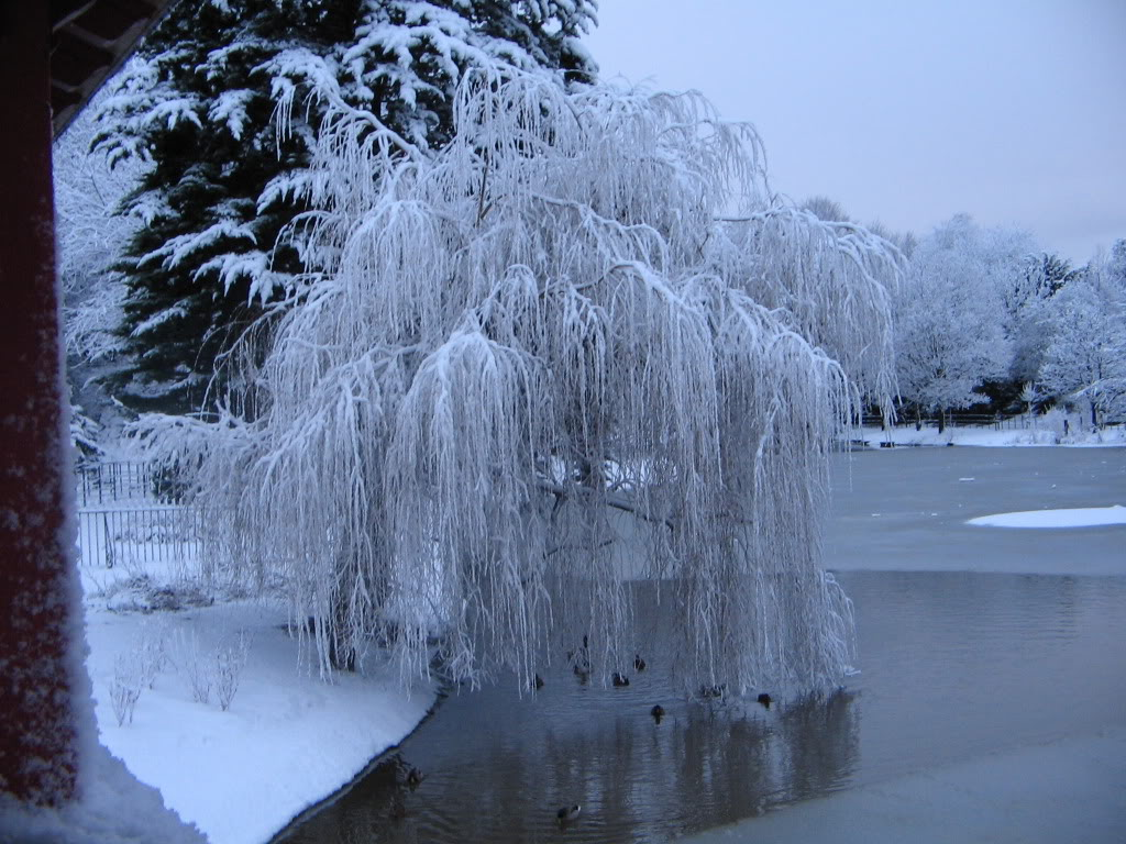 Snowy-Weeping-Willow-wallpaper-wp5408735