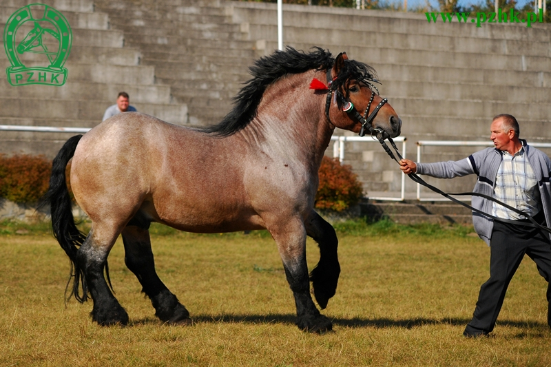 Sztumski-horse-Sztumski-Polish-Coldblood-Horse-stallion-A-regional-breed-of-heavy-draft-horse-fr-wallpaper-wp46010515