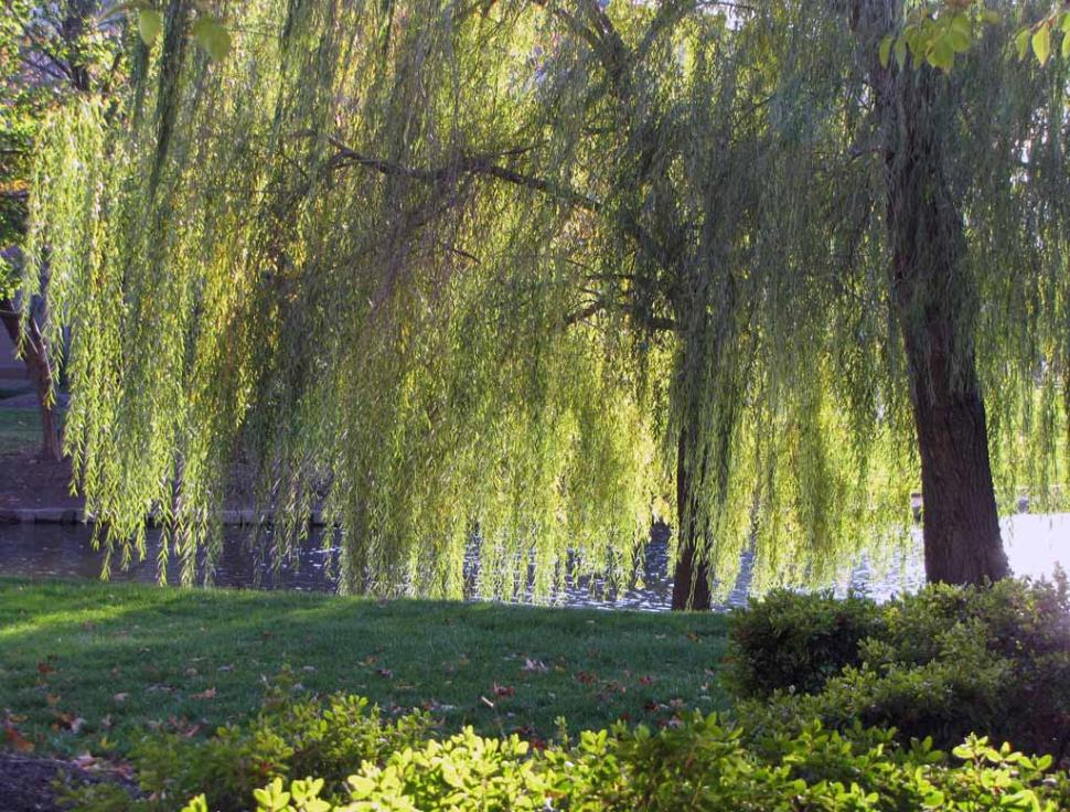 Weeping-Willow-wallpaper-wp5401112