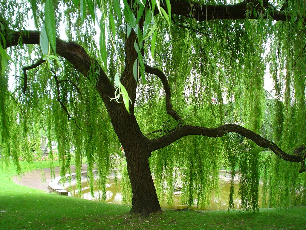 Weeping-Willow-wallpaper-wp5401313