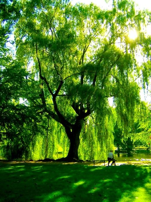Weeping-Willow-wallpaper-wp540778