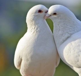 White doves are beautiful wallpaper