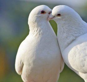 White doves are beautiful wallpaper