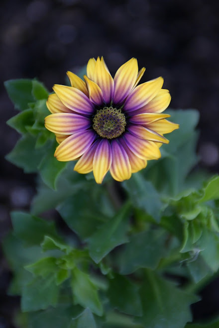 african-daisy-wallpaper-wp5602762